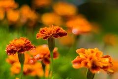 Den Tagetes ringblomman blommar efter regn arkivfoton
