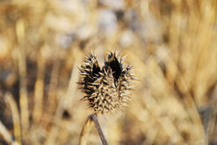 Den taggiga Daturastramoniumen kärnar ur fröskidan Också bekant som det Jimson ogräset och Thorn Apple Inföding i Förenta statern fotografering för bildbyråer