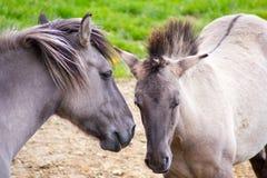 Den Tarpan hästen royaltyfria foton