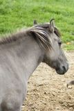 Den Tarpan hästen arkivfoton