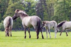 Den Tarpan hästen fotografering för bildbyråer