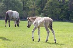 Den Tarpan hästen arkivfoto