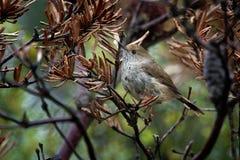 Den Tasmanian Thornbill - Acanthiza ewingiien - den lilla bruna fågeln grundar endast i Tasmanien och öarna i Bass Strait, gemens royaltyfri bild