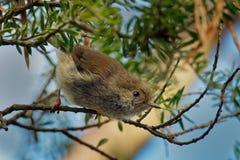Den Tasmanian Thornbill - Acanthiza ewingiien - den lilla bruna fågeln grundar endast i Tasmanien och öarna i Bass Strait, gemens arkivfoto