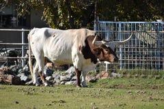 Den Texas longhornen betar in fotografering för bildbyråer