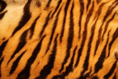 Den texturerade tigern pälsfodrar Fotografering för Bildbyråer
