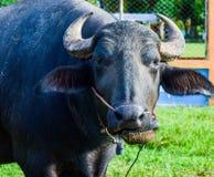 Den thailändska buffeln äter sparat grönt gräs på royaltyfri bild