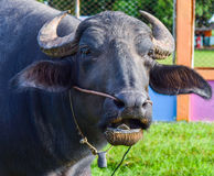 Den thailändska buffeln äter sparat grönt gräs på arkivbild