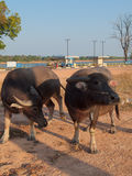 Den thailändska buffeln går över fältet går tillbaka hem arkivbilder