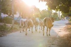 Den thailändska buffeln går över fältet går tillbaka hem Arkivfoto