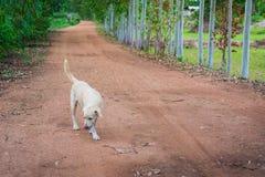 Den thailändska folk hunden håller att gå Royaltyfria Bilder
