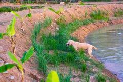 Den thailändska folk hunden samlar journaler Arkivfoton
