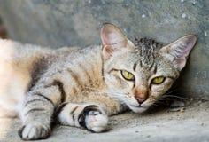 Den thailändska katten kopplar av på golv Royaltyfri Fotografi