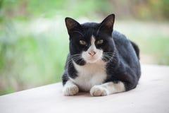 Den thailändska katten ser mig Arkivbilder