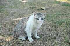 Den thailändska katten ser mig Royaltyfri Bild