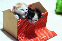 Den thailändska kattungen är härlig Royaltyfri Foto