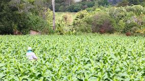 Den thailändska kvinnan satte insekticid och gödningsmedel i tobakväxt stock video