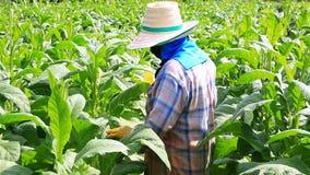 Den thailändska kvinnan satte insekticid och gödningsmedel i tobakväxt arkivfilmer
