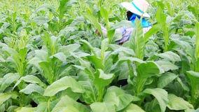 Den thailändska kvinnan satte insekticid och gödningsmedel i tobakväxt lager videofilmer