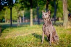 Den thailändska Ridgeback hunden står på gräset Royaltyfri Fotografi