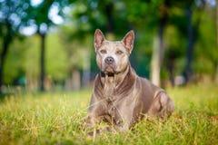 Den thailändska Ridgeback hunden står på gräset Royaltyfria Bilder
