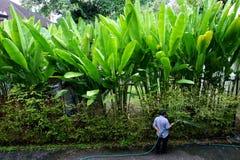 Den thailändska trädgårdsmästaren bevattnar en häck av bananträd och buskar Arkivfoto