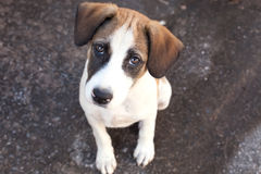 Den Thailand hunden, closeup synar hunden royaltyfria foton