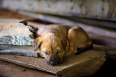 Den Thailand valpen sover Arkivfoto