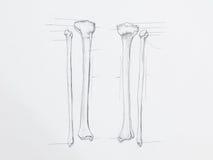 Den Tibula fibulaen benar ur blyertspennateckningen fotografering för bildbyråer
