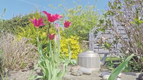 Den Tid schackningsperioden av liljan blommade tulpan som öppnar och stänger sig lager videofilmer