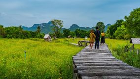 Den Tid schackningsperioden av m?nga turister bes?ker de gula kosmosblommorna som blommar med tr?bron i Lopburi, Thailand stock video