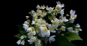 Den Tid schackningsperioden av den vita jasmin blommar att blomma p? svart bakgrund, den alfabetiska kanalen lager videofilmer