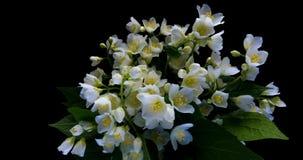 Den Tid schackningsperioden av den vita jasmin blommar att blomma p? svart bakgrund, den alfabetiska kanalen arkivfilmer