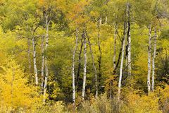 Den tidiga hösten färgar i Wyoming, asp- träd arkivfoton