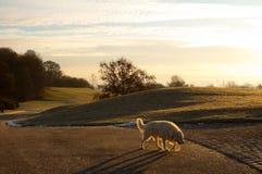 den tidiga labrador morgonen går arkivbilder