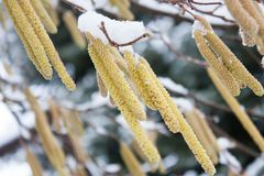 Den tidiga manliga hasselnöten blommar i Januari arkivfoton
