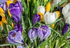 """Den tidiga våren färgrik krokus blommar för †"""" Royaltyfri Bild"""