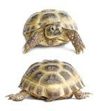 den tillbaka framsidan isolerade sköldpaddan Royaltyfria Bilder