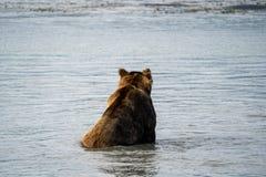 Den tillbaka sikten av den alaskabo kust- bruna grisslybjörnen sitter i vatten, som han fiskar fo arkivbilder