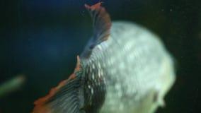 Den tillbaka sikten av stora grå färger fiskar i akvariet, slut sköt upp stock video