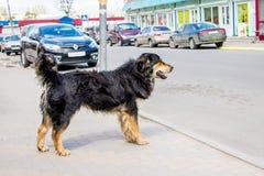 Den tillfälliga hunden önskar att korsa gatan av staden till och med som bilar royaltyfri fotografi
