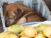 Den tillfälliga hunden sover i en plast- ask Arkivfoton