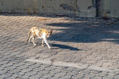 Den tillfälliga tricolor katten går på kullerstentrottoar royaltyfri fotografi