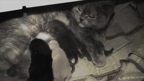Den tillgivna katten som modern matar henne, behandla som ett barn stock video