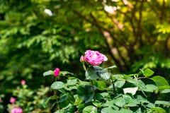 Den Tned bilden av härliga röda rosor som växer på vägen parkerar in Royaltyfri Fotografi