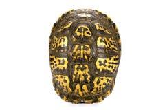 Den tomma sköldpaddan beskjuter isolerat på vit Arkivfoton