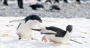Den tonåringAdelie pingvinet jagar en vuxen människa för mat, antarktisk halvö arkivfoton