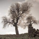 Den tonade bilden av två mandelträd och fördärvar i övergiven by i Tylliria, Cypern Royaltyfri Bild