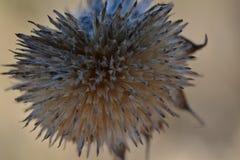 Den torkade blomman kärnar ur huvudet Arkivbilder