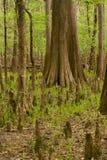 den torkade cypressen knäa upp swamptrees Arkivbild